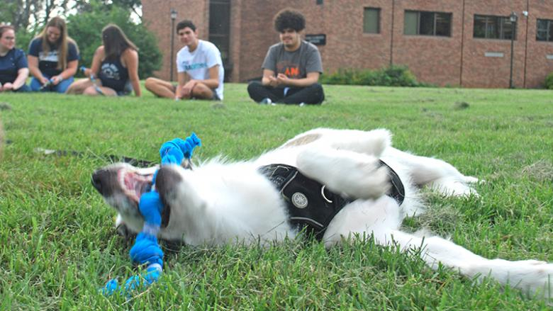 Dog plays with tug toy that students made from old shirts at Penn State Mont Alto